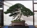 樹齢800年の一位(イチイ)