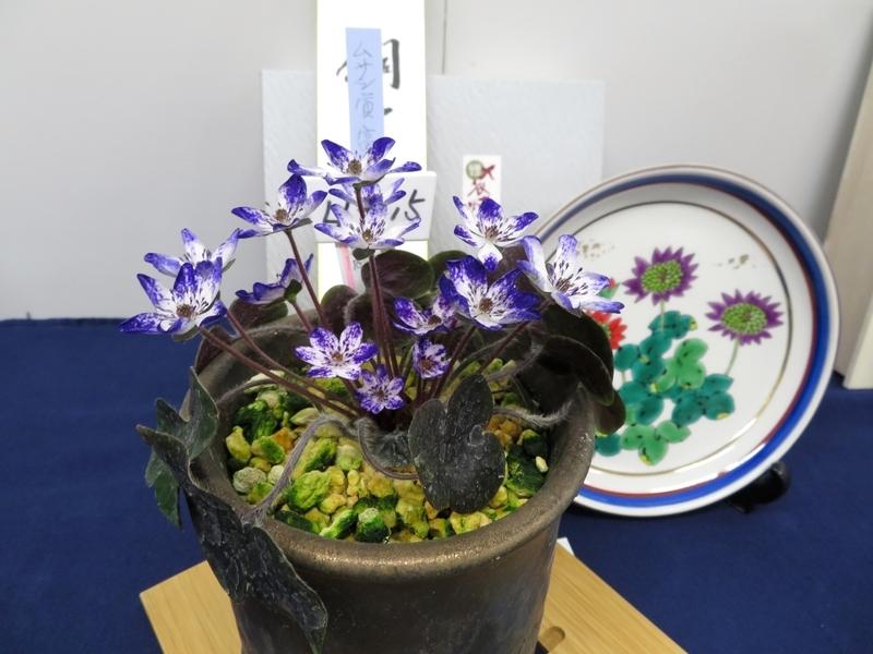 2020/02/23/ユキワリソウ、標準花「富山しぐれ」