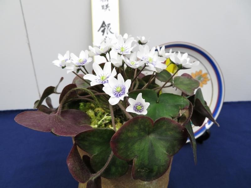 2020/02/23/ユキワリソウ、妖精咲「花慕情」