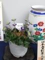 2020/02/23/ユキワリソウ、三段咲「天壇」