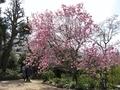 2020/03/21/マグノリア「サラサモクレン」1
