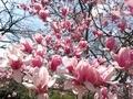2020/03/21/マグノリア「サラサモクレン」2