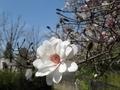 2020/03/21/マグノリア「コブシ(八重)」
