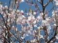 2020/03/21/サクラ「豆桜」