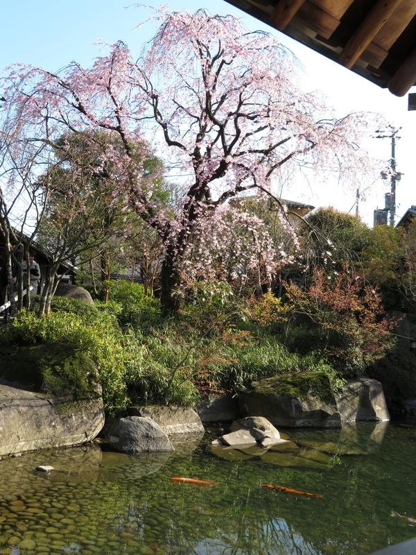 2020/03/25/サクラ「枝垂桜」1