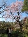 2020/03/25サクラ「枝垂桜」3
