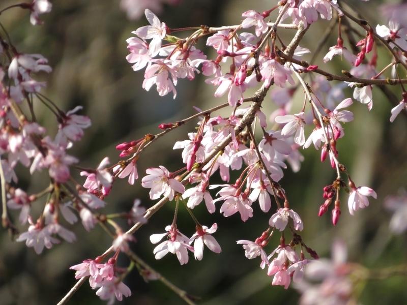 2020/03/25/サクラ「枝垂桜」5