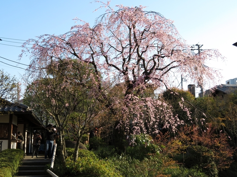 2020/03/25/サクラ「枝垂桜」6