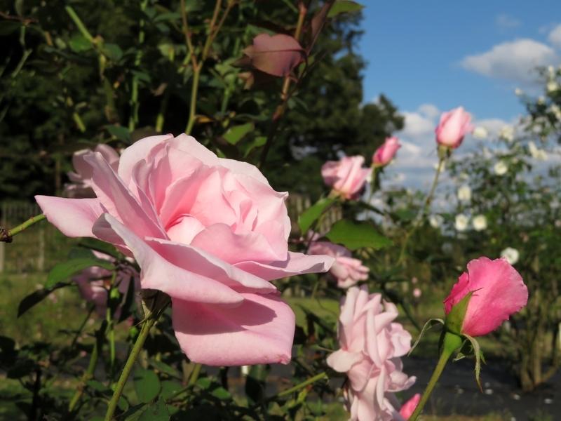 2020/10/21/バラ「桜貝」