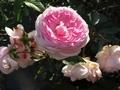 2020/10/21/バラ「粉粧楼」