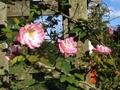 2020/10/21/バラ「つる桜霞」