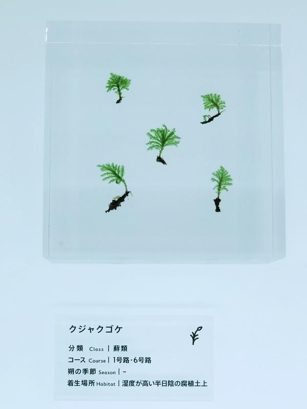 2020/12/24/クジャクゴケ