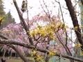 2021/03/25/サンシュユ