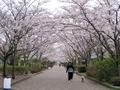 2021/03/25/サクラ「染井吉野」2