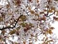2021/03/25/サクラ「山桜」?1