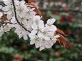 2021/03/25/サクラ「山桜」?2