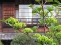2021/04/09/オオデマリ