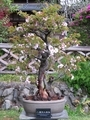 2021/04/09/サクラ「八重紅大島桜」