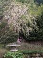 2021/04/09/サクラ「枝垂桜」&ミツバツツジ