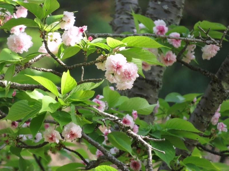 2021/04/12/サクラ「兼六園菊桜」