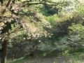 2021/04/12/サクラ保存林3