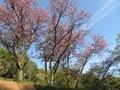 2021/04/12/サクラ保存林4