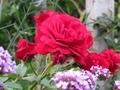 2021/06/11/バラ「ルージュピエールドゥロンサール」or「ダイナマイト」