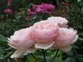2021/06/11/バラ「プリンセスドゥモナコ」?