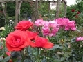 2021/06/11/バラ「緋扇」&「ステファニードゥモナコ」