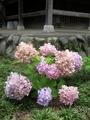 2021/06/21/アジサイ「霧島の恵」