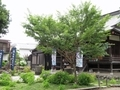 2021/06/21/サクラ「子福桜」