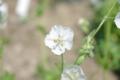 白花フウロソウ