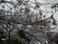 [風景][桜]