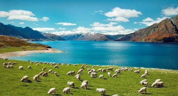 2_sheep_new_zealand