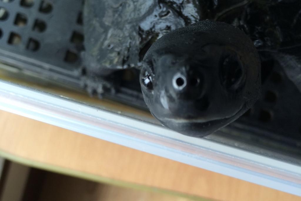 目が大きいカメ