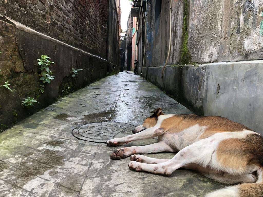 インドの犬