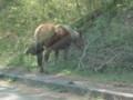 尻屋岬の馬
