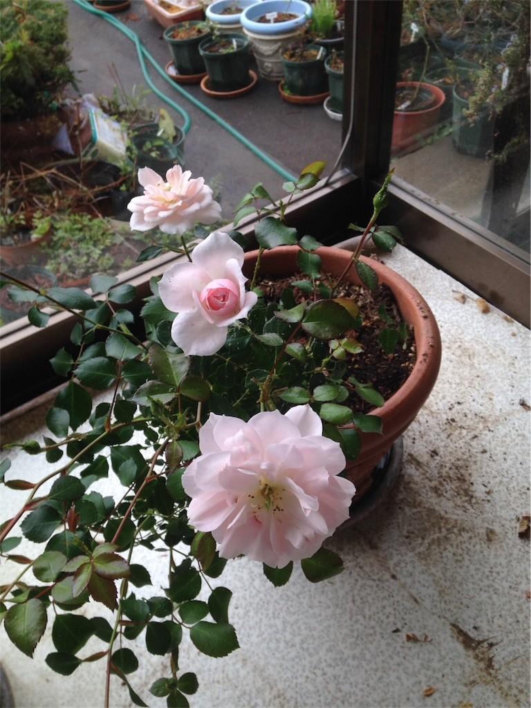 f:id:Nishimura_Rose_Garden:20170426185151j:image