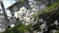道沿いの桜♪