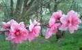 桜の線路♪