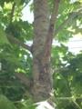 セミと木♪