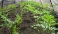 農園♪ 苺の葉