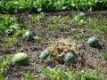 農園の西瓜♪