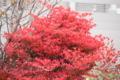 20101123 紅葉
