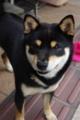 [柴犬][shibadog]黒柴ちゃん
