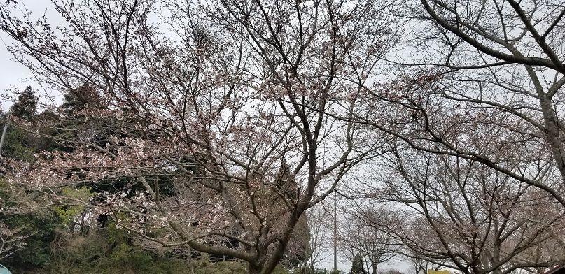 成田ゆめ牧場 桜