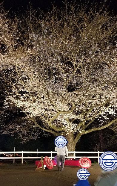 満開 桜 成田ゆめ牧場