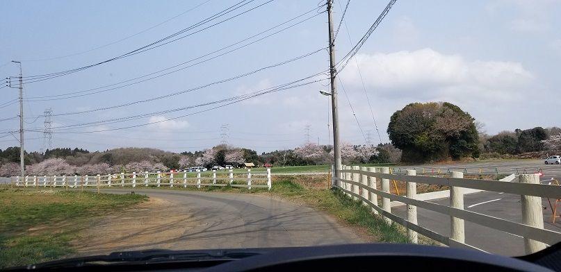 成田ゆめ牧場 花見 満開