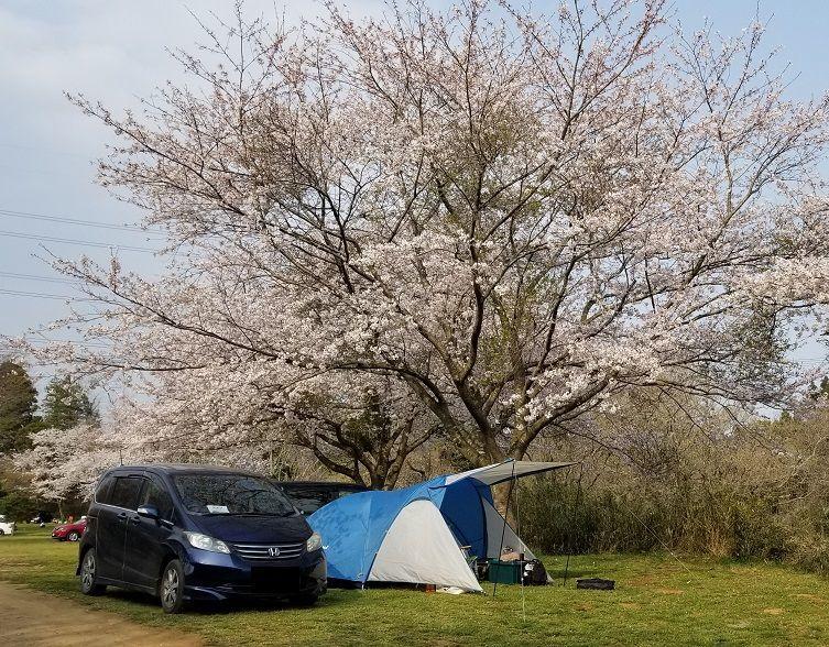 花見キャンプ 桜の木の下