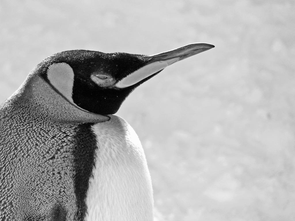 モノクロ写真・ペンギン